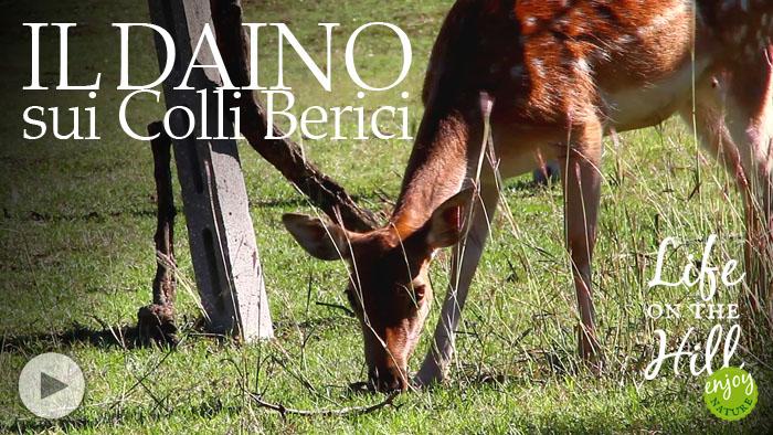 Colli Berici, daino