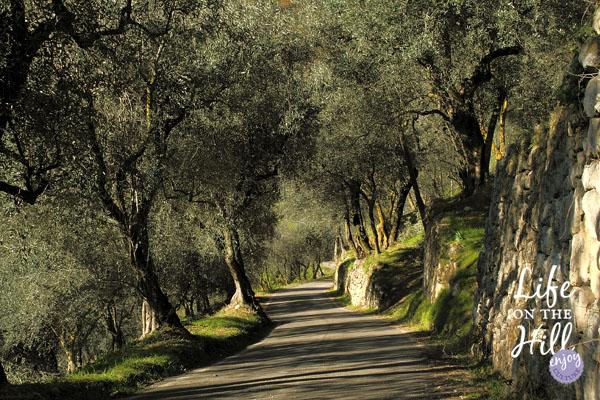 Mossano, Colli Berici, una strada che passa sotto un uliveto.