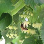 Ape su fiore di tiglio dei Colli Berici