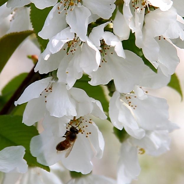 Ape su fiori ciliegio dei Colli Berici
