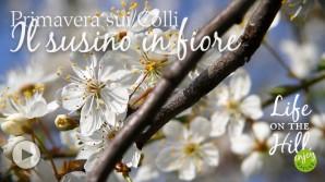 Il susino in fiore - Colli Berici