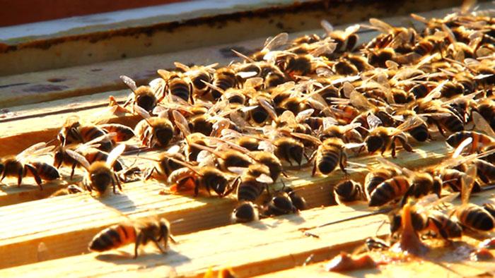 Le api dei Ceolli Berici