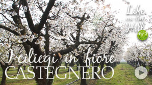 Ciliegi di Castegnero - Colli Berici