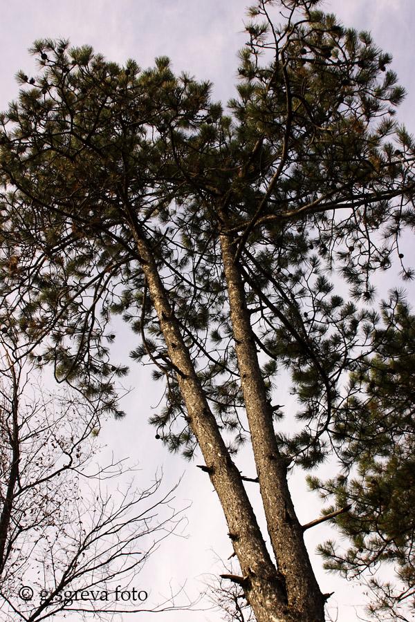 Sentiero della Guerra Brendola Colli Berici - Alberi caratteristici della pineta