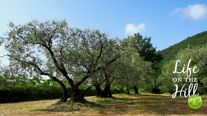Un vecchio ulivo dei Colli Berici