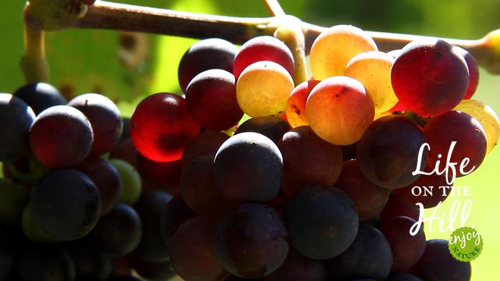 Il sole e l'uva in un filare dei Colli Berici