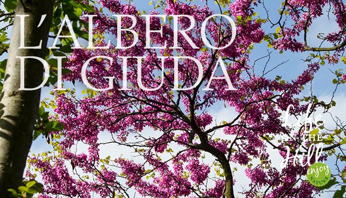 albero di Giuda Colli Berici