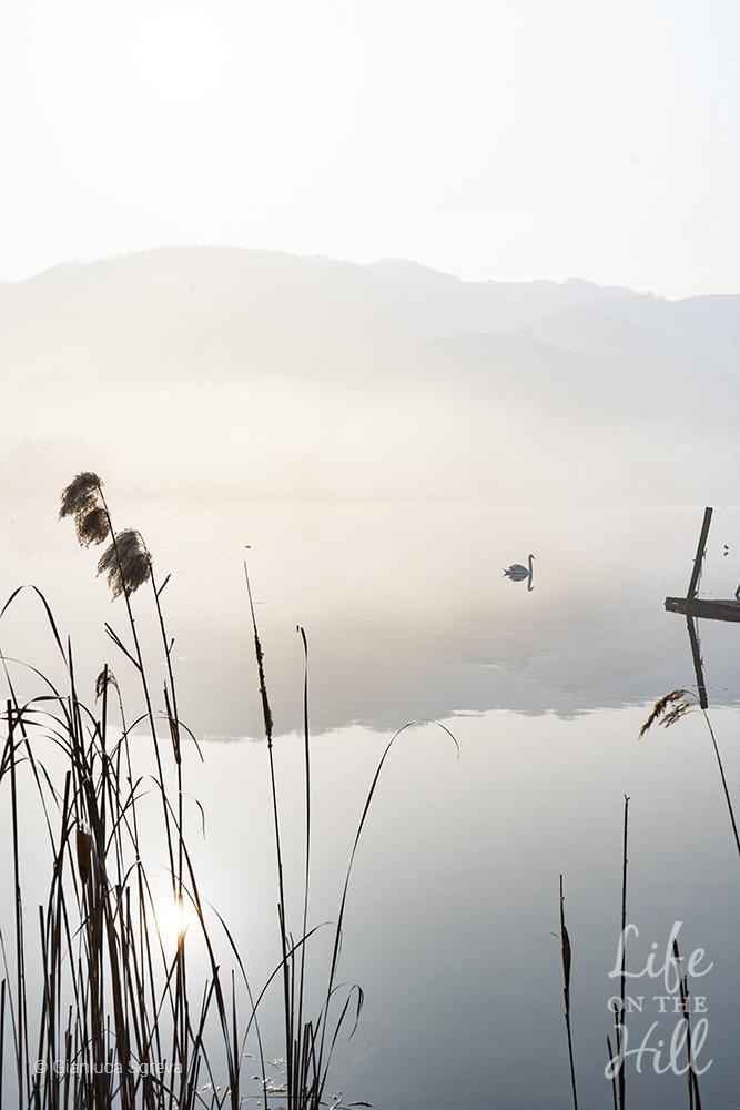 cigni sul lago di fimon