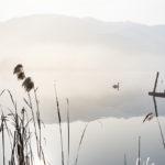 cigni lago di fimon